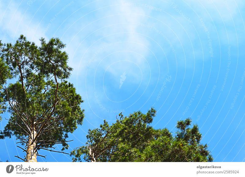 Spitzen aus Kiefernholz am Himmel mit Wolken. schön Freizeit & Hobby Sommer Umwelt Natur Landschaft Herbst Klima Baum Blatt Park Wald Holz Wachstum hell