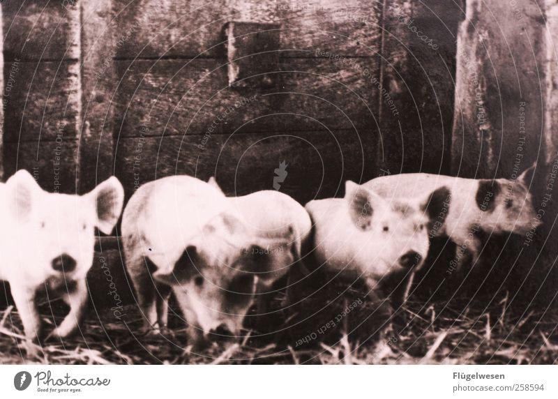 Familie Schweinsteiger Tierjunges mehrere Tiergruppe Bauernhof Viehzucht Herde Nutztier Stall Landwirtschaft Viehhaltung Sau Ferkel Schweinerei Saustall