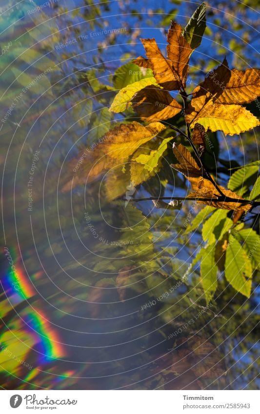 Goldener Oktober Umwelt Natur Pflanze Himmel Herbst Schönes Wetter Baum Blatt Wald Wachstum natürlich blau braun gelb grün Gefühle Spektralfarbe