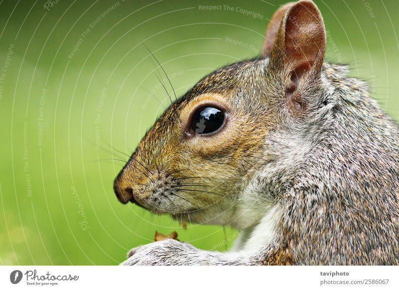 Nahaufnahme des Grauhörnchens Essen Garten Natur Tier Park Wald Pelzmantel Haustier Wildtier füttern klein lustig natürlich niedlich wild braun grau grün
