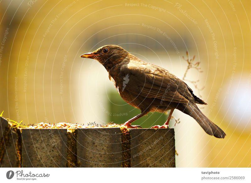 gewöhnliche Amsel in schönem Licht Leben Sommer Garten Natur Tier Park Vogel stehen hell klein natürlich niedlich wild braun schwarz Schnabel farbenfroh Fauna
