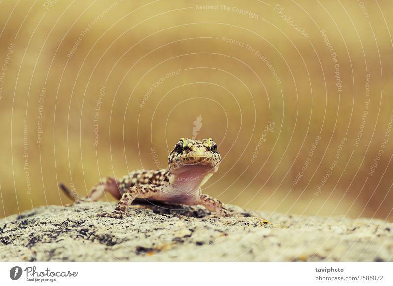 süßer neugieriger Gecko exotisch schön Umwelt Natur Tier Felsen Haustier Stein hell klein natürlich niedlich wild braun Farbe Lizard Lebensraum Hintergrund