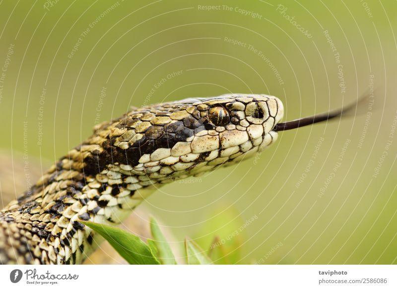 Makroporträt einer seltenen Wiesenotter schön Natur Tier Schlange wild braun Angst gefährlich Natter Kopf Zunge giftig Vipera ursinii farbenfroh Lebewesen