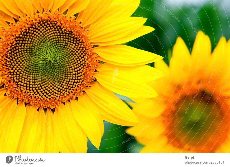 Bild von schönen Sonnenblumen Sommer Garten Natur Landschaft Pflanze Himmel Blume Blatt Blüte Wiese Wachstum hell natürlich gelb grün Farbe Feld Ackerbau