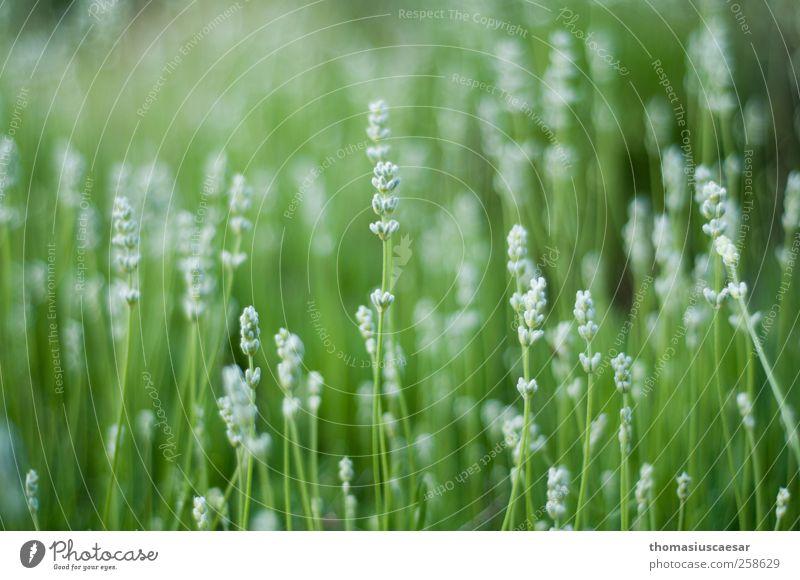 Wiesenblümchen Natur grün weiß Pflanze Sommer Blume Blatt ruhig Leben Gras Wärme Garten Blüte Park hell