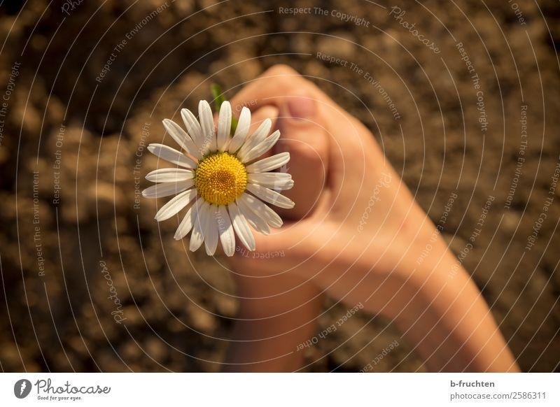Margerite in Kinderhände Zufriedenheit Meditation Garten Schulkind Hand Finger Erde Pflanze Blume Blüte wählen beobachten festhalten einfach frisch natürlich