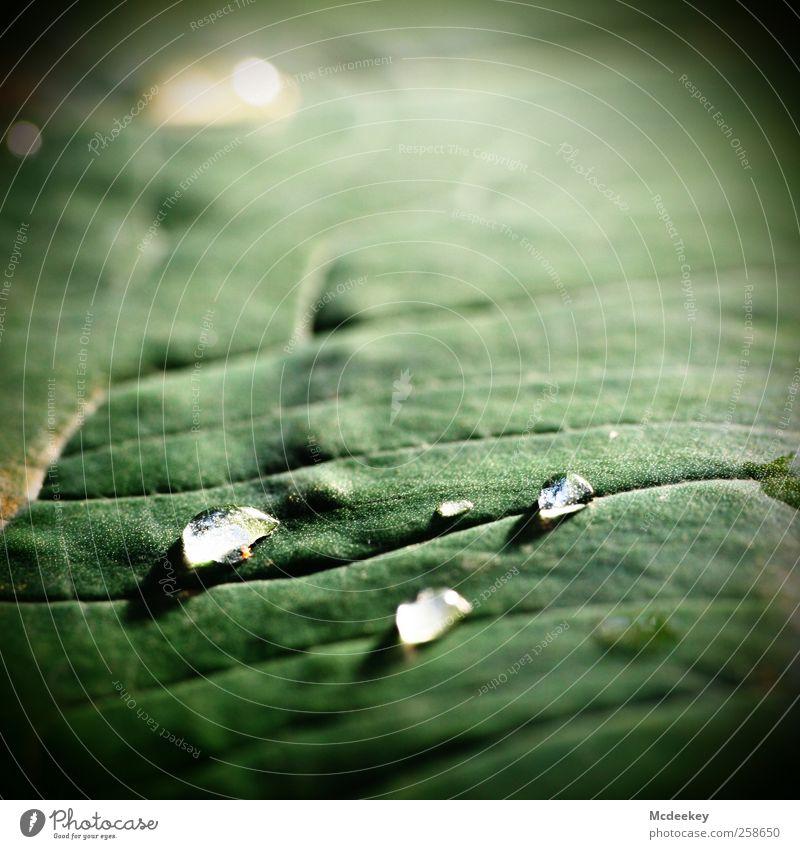 heavenly tears (2) Natur Pflanze Wasser Wassertropfen Sonnenlicht Sommer Schönes Wetter Blatt Grünpflanze exotisch Park Wiese authentisch Flüssigkeit frisch