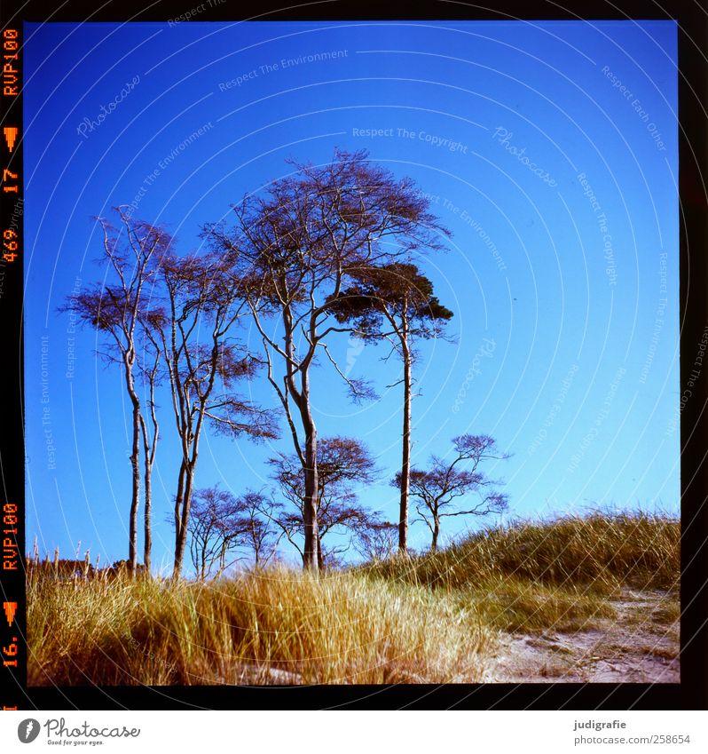 Weststrand Umwelt Natur Landschaft Pflanze Himmel Wolkenloser Himmel Sommer Klima Schönes Wetter Baum Gras Darß Wachstum natürlich wild Vergänglichkeit Farbfoto