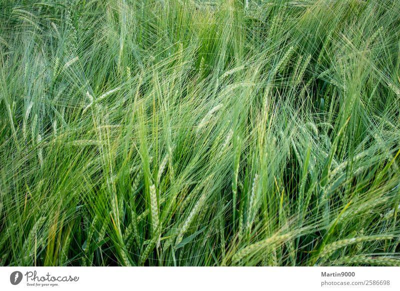 Getreidefeld Natur Tier Sommer Schönes Wetter Pflanze Nutzpflanze Feld schön grün Farbfoto Außenaufnahme Textfreiraum links Textfreiraum rechts