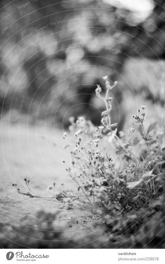 small Pflanze schwarz weiß Unkraut Wegrand Unschärfe einfach Schwarzweißfoto Außenaufnahme Detailaufnahme Menschenleer Textfreiraum rechts Textfreiraum oben