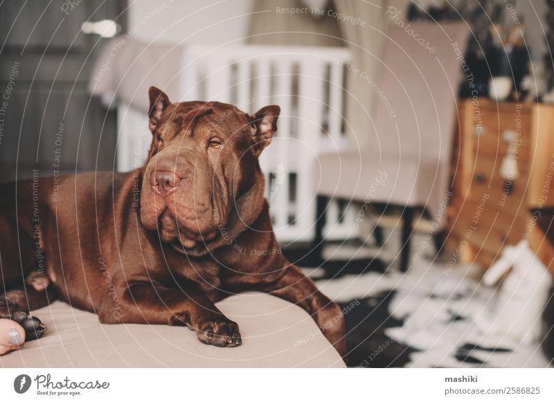 schöner brauner Shar Pei Hund, der sich zu Hause entspannt. Glück Erholung Spielen Freundschaft Tier Pelzmantel Haustier lustig modern niedlich shar pei