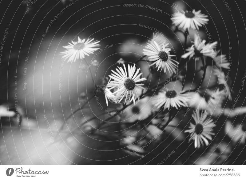 wege übers land. Natur Pflanze Blume dunkel Umwelt Traurigkeit Liebeskummer Margerite schlechtes Wetter