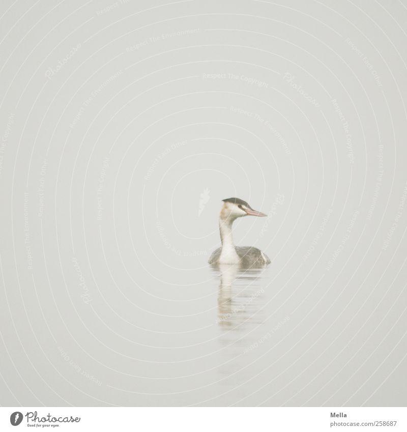 Taubenhaucher Umwelt Natur Tier Wasser Nebel Teich See Wildtier Vogel Haubentaucher 1 Blick Schwimmen & Baden frei hell natürlich trist grau Freiheit ruhig