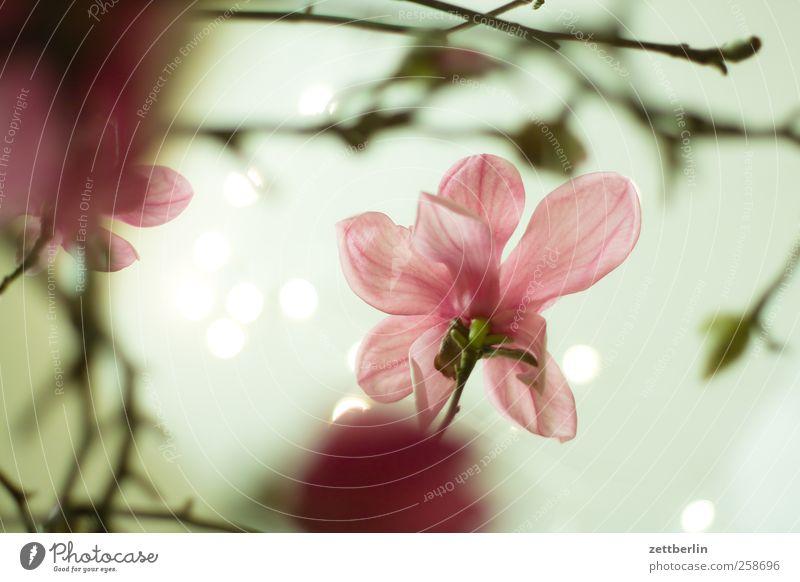 Magnolia Umwelt Natur Landschaft Pflanze Frühling Klima Klimawandel Schönes Wetter Blume Blatt Blüte Garten Park Blumenstrauß Wachstum hell blühen