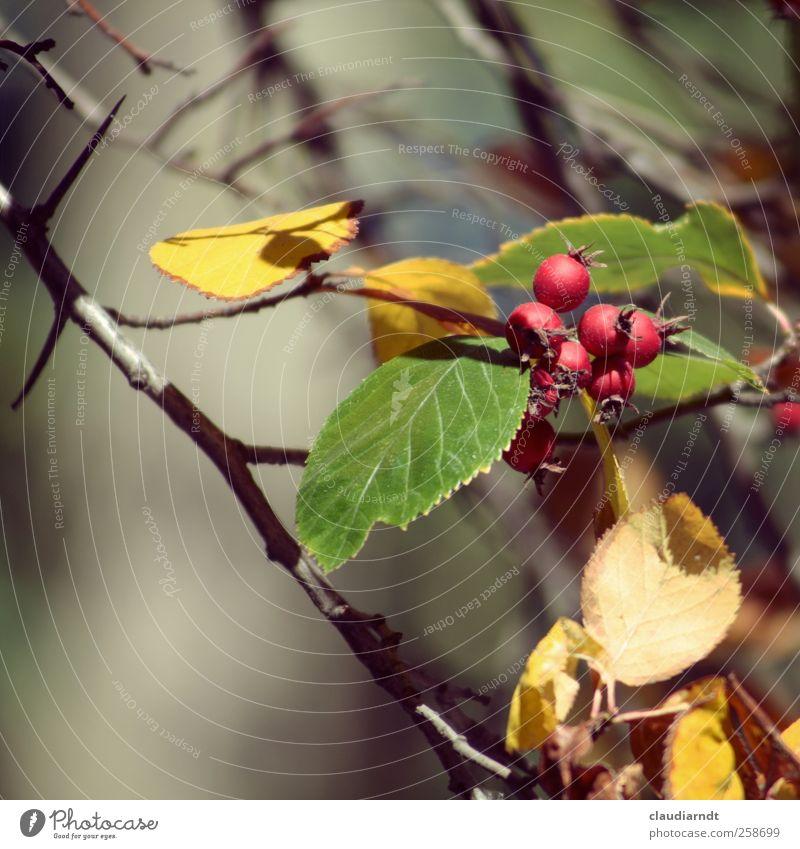 Rosenäpfel Natur Pflanze Herbst Sträucher Blatt Hagebutten stachelig gelb grün rot Stachel Dorn Herbstlaub Zweige u. Äste Unschärfe Farbfoto Außenaufnahme