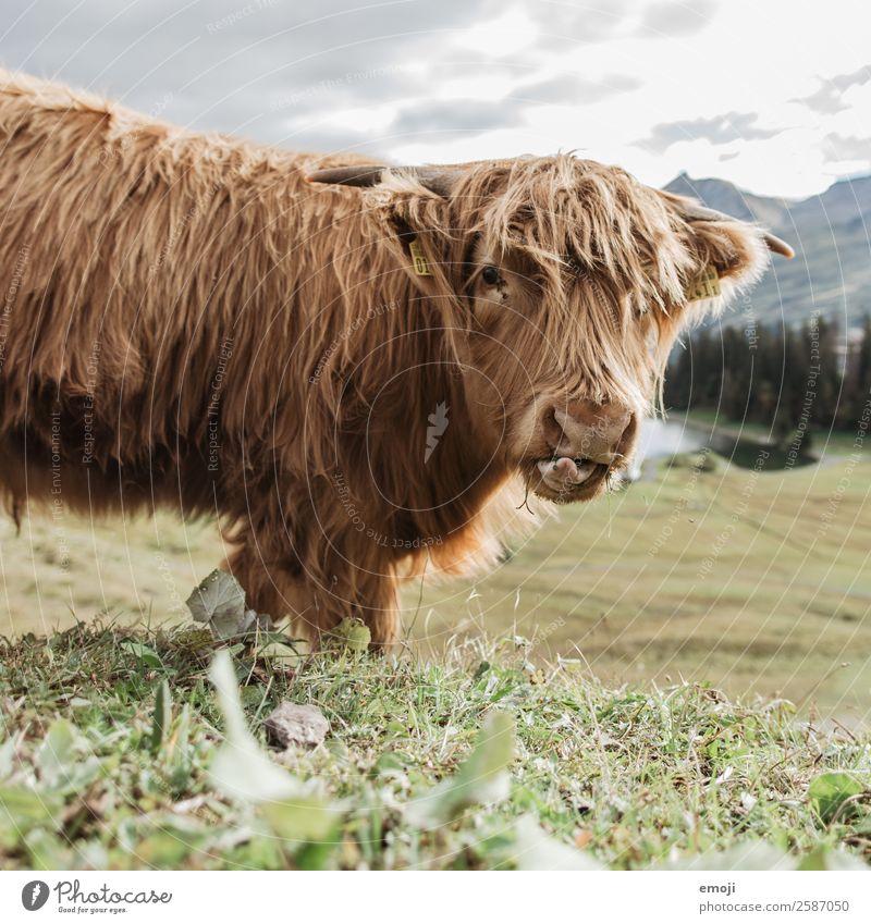 Schottisches Hochlandrind Natur Tier Nutztier Kuh 1 Coolness lustig Wiederkäuer essen Neugier Farbfoto Außenaufnahme Menschenleer Tag Schwache Tiefenschärfe