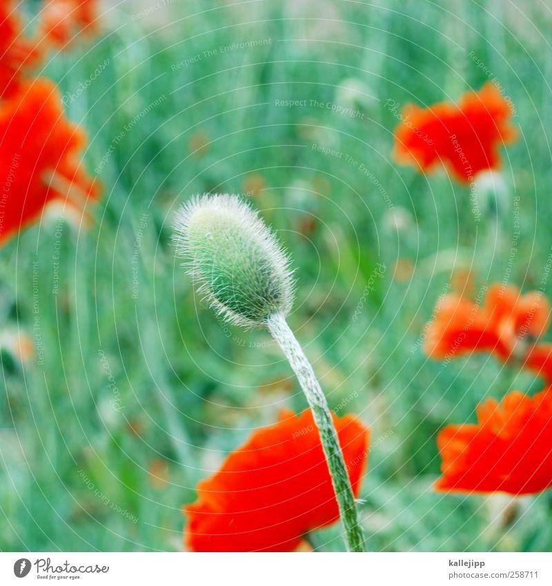 i like mohndays Umwelt Natur Pflanze Blume Gras Blatt Blüte Grünpflanze Wildpflanze Park Wiese Blühend grün Mohn Mohnblüte Blütenknospen rot Farbfoto mehrfarbig