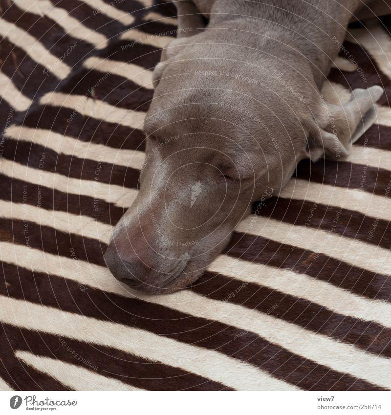 Großwildjagd Tier Hund 1 Linie Streifen schlafen träumen ästhetisch authentisch einfach modern braun Abenteuer Design Häusliches Leben Weimaraner Zebra