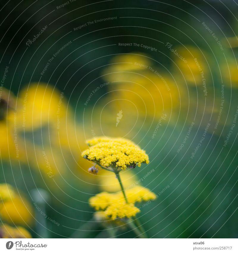 gelbgrün Umwelt Natur Pflanze Blume Blüte Farbfoto Außenaufnahme Nahaufnahme Textfreiraum oben