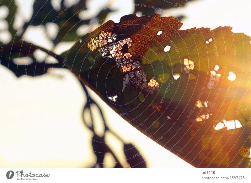 Blatt in Herbstsonne Natur Pflanze Sonnenlicht Schönes Wetter Baum Erlen Park Feld Wald braun mehrfarbig gelb grau grün schwarz weiß Gegenlicht Herbstfärbung