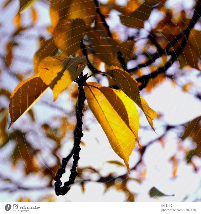 Blätter gelb Pflanze Herbst Schönes Wetter Baum Blatt Kirschbaum Garten blau violett schwarz weiß Herbstfärbung leuchten Gegenlicht Herbstbeginn herbstlich