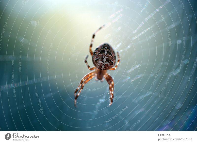 Kreuzspinne Umwelt Natur Tier Sommer Herbst Wildtier Spinne 1 hell klein nah natürlich blau braun weiß spinnen Spinnenbeine Spinnennetz Muster Farbfoto