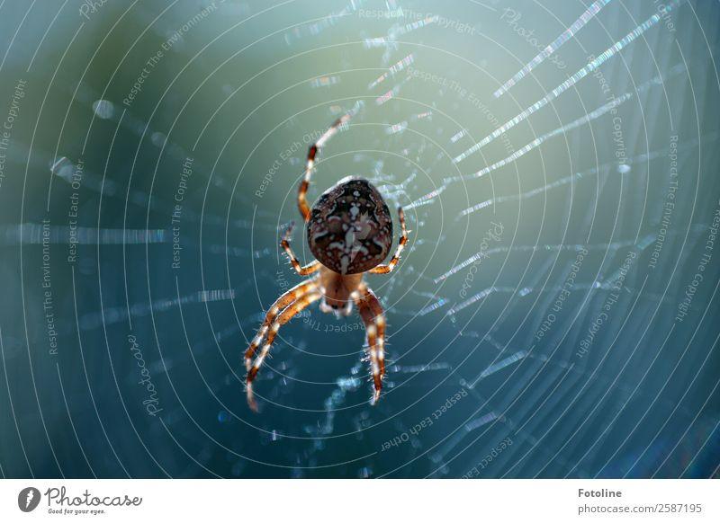Spinnchen Umwelt Natur Tier Sommer Herbst Wildtier Spinne 1 frei klein nah natürlich blau braun Spinnennetz Spinnenbeine Kreuzspinne Farbfoto mehrfarbig