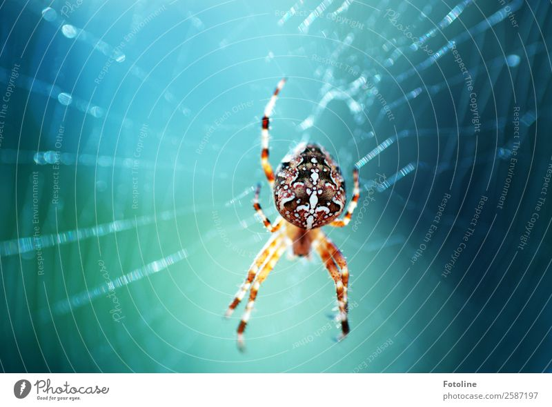 schöne Spinne Umwelt Natur Tier Sommer Herbst Wildtier 1 frei hell klein nah natürlich blau braun spinnen Spinnennetz Spinnenbeine Kreuzspinne Muster Farbfoto