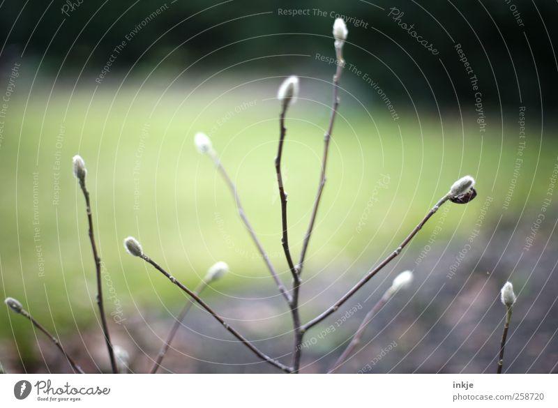 zarte Triebe Natur Pflanze Herbst Sträucher Blattknospe Blütenknospen Ast Wachstum dünn lang natürlich schön trist trocken weich braun grün schwarz weiß Umwelt