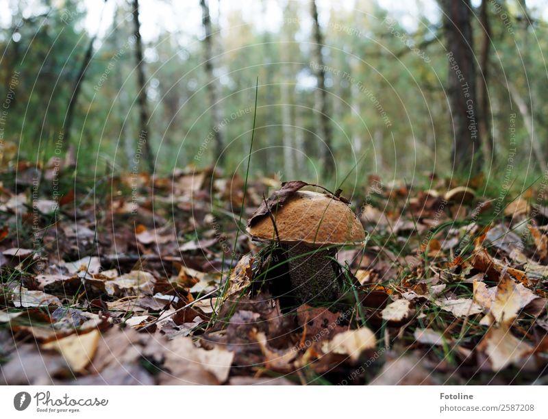 Birkenpilz Umwelt Natur Landschaft Pflanze Urelemente Erde Herbst Schönes Wetter Baum Wildpflanze Wald frisch nah natürlich braun grün Pilz Pilzhut Waldboden