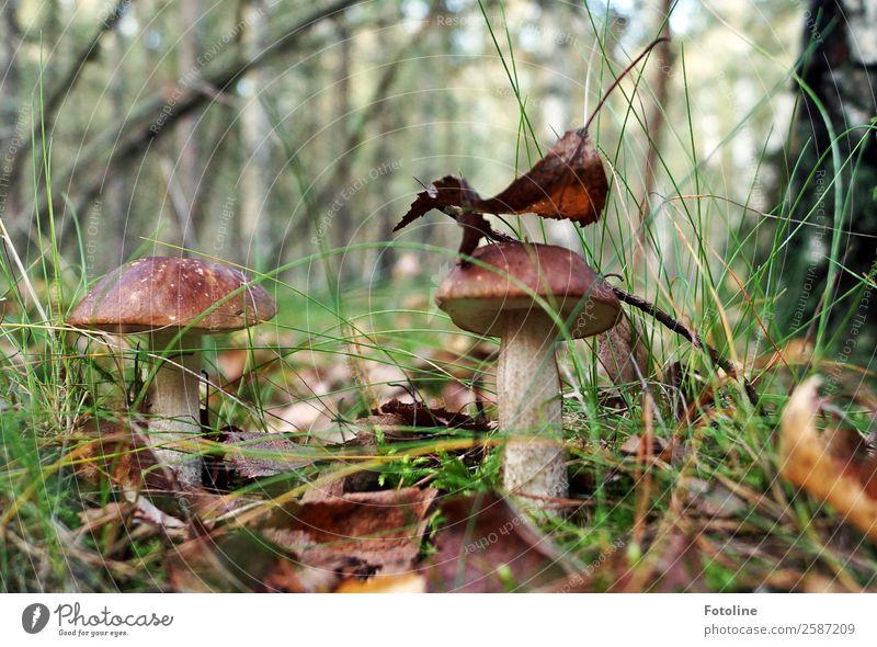 2 Männlein steh'n im Walde... Umwelt Natur Landschaft Pflanze Urelemente Erde Herbst Baum Gras Blatt Wildpflanze frisch hell natürlich braun grün Pilz