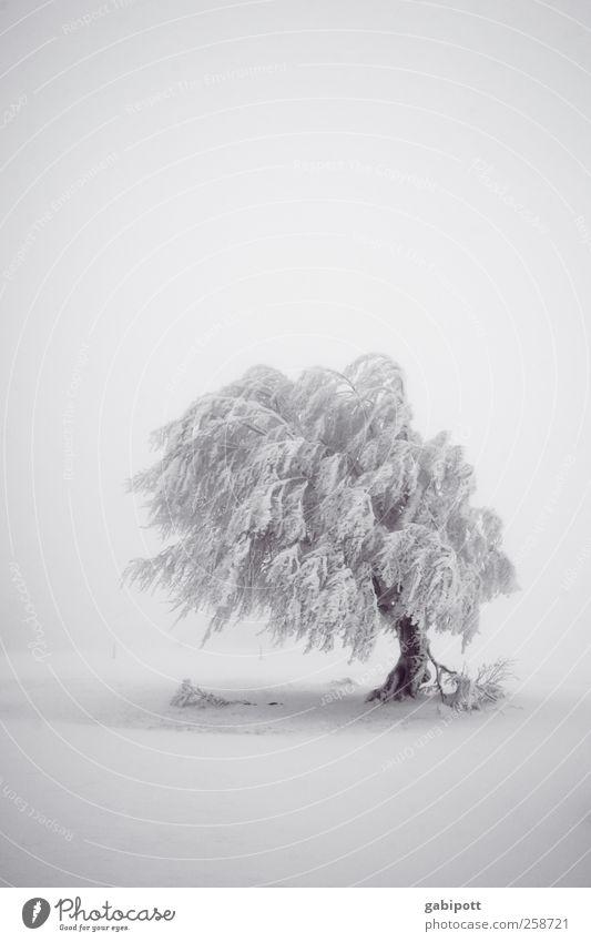 Baumloben | Stille Natur weiß Baum Pflanze Ferien & Urlaub & Reisen Winter schwarz ruhig Ferne kalt Schnee Umwelt Landschaft Schneefall Stimmung Wetter