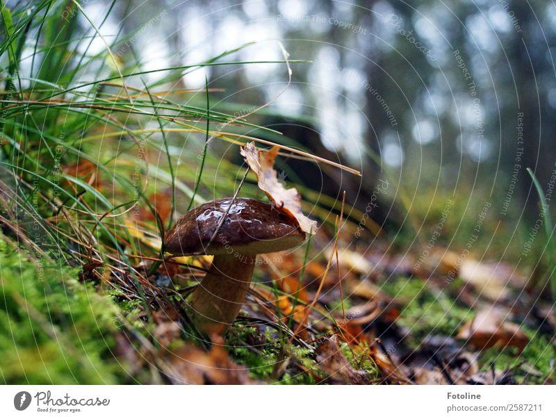 Marone Umwelt Natur Landschaft Pflanze Urelemente Erde Herbst Gras Moos Wildpflanze Wald frisch natürlich braun grün Pilz Pilzhut herbstlich Herbstlaub lecker
