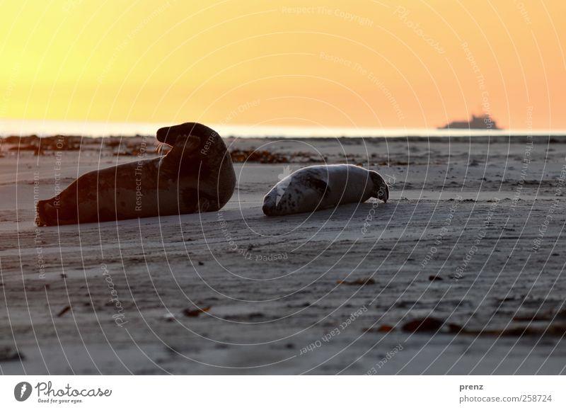 Kind und Kegel Umwelt Natur Landschaft Tier Himmel Strand Nordsee Insel Wildtier 2 Tierpaar Tierjunges liegen grau rot Robben Robbenbaby Säugetier Meerestier