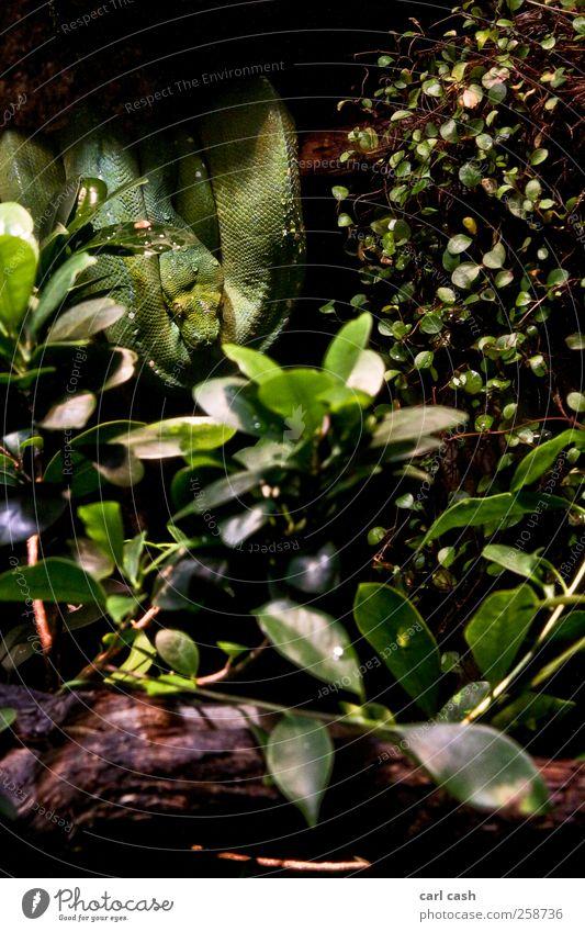 Schlange Zoo Pflanze Tier Baum Wildtier 1 entdecken Erholung bedrohlich grün Angst elegant Wassertropfen verstecken Farbfoto mehrfarbig Außenaufnahme