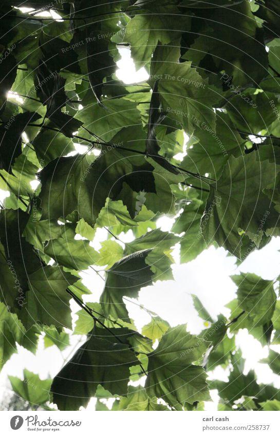 Blätter Natur Pflanze Sommer Baum Grünpflanze hell strahlend Strahlung Blatt Blätterdach Farbfoto Außenaufnahme Experiment Strukturen & Formen Menschenleer Tag