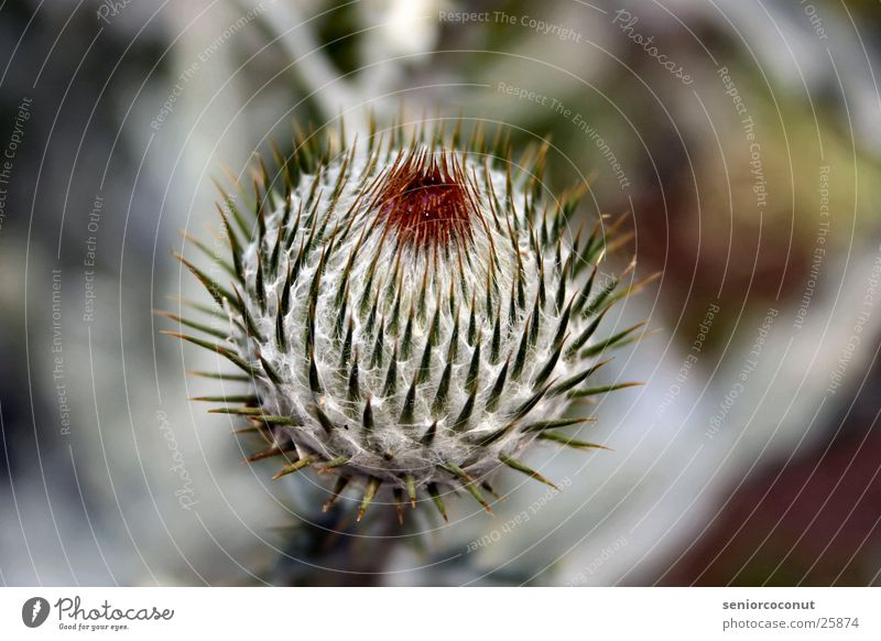 Don`t touch Pflanze Makroaufnahme Stachel Samen Schmerz Distel