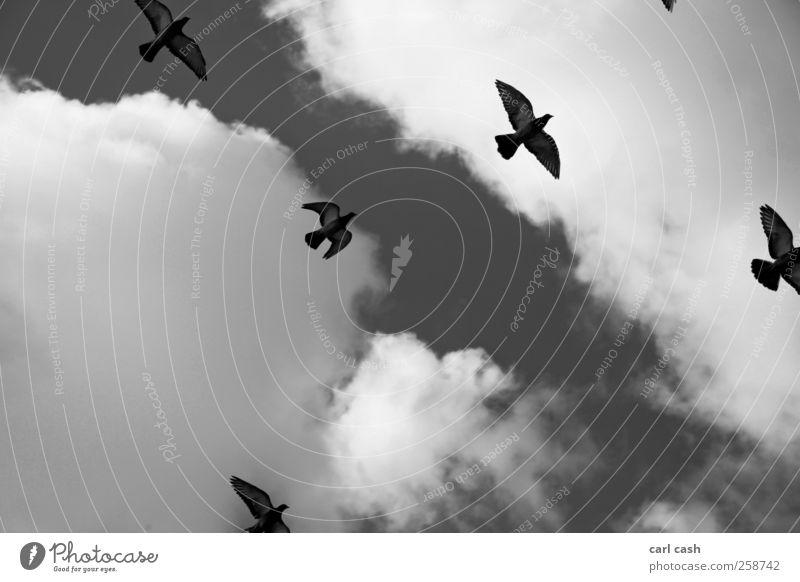 freiheit Himmel weiß Wolken Tier schwarz Freiheit grau Freundschaft Vogel Zusammensein elegant ästhetisch Tiergruppe Unendlichkeit Zusammenhalt