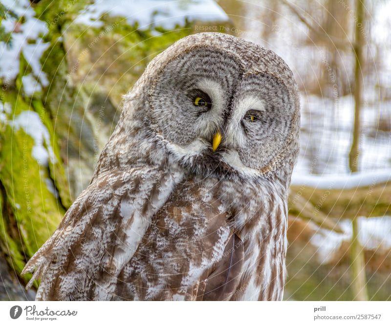 Great grey owl Erholung Winter Kopf Tier Vogel Tiergesicht 1 kalt braun Bartkauz Eulenvögel phantom des nordens große graueule lapplandeule ruhen gesprenkelt