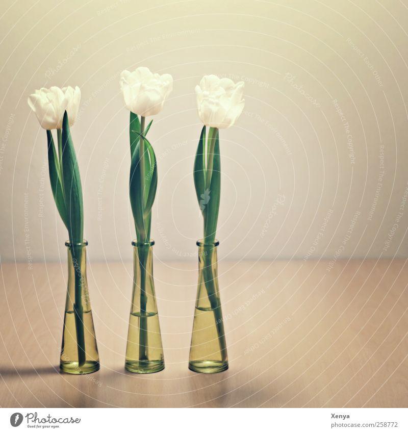 Drei Pflanze Blume Tulpe Blumenstrauß grün weiß Ordnungsliebe 3 Reihenfolge Frühling nebeneinander puristisch Blumenvase Innenaufnahme Menschenleer