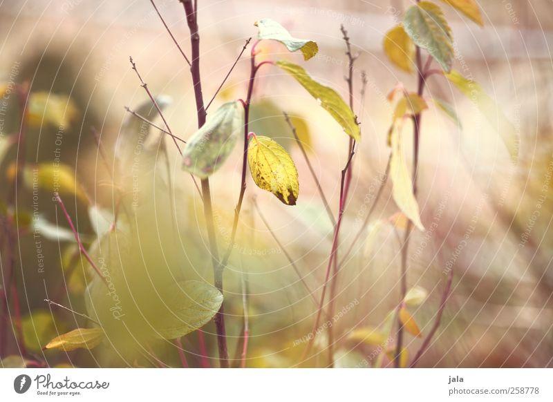 sowas wie frühling. Umwelt Natur Pflanze Sträucher Blatt ästhetisch natürlich gelb grün Zweig Farbfoto Außenaufnahme Menschenleer Tag