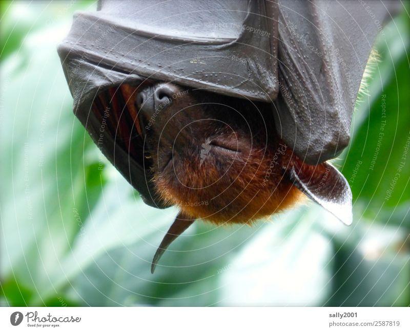 Wochenende... Erholung Tier Wildtier schlafen Tierhaut Asien exotisch Müdigkeit hängen Tiergesicht gemütlich zudecken Fledertiere Flughunde