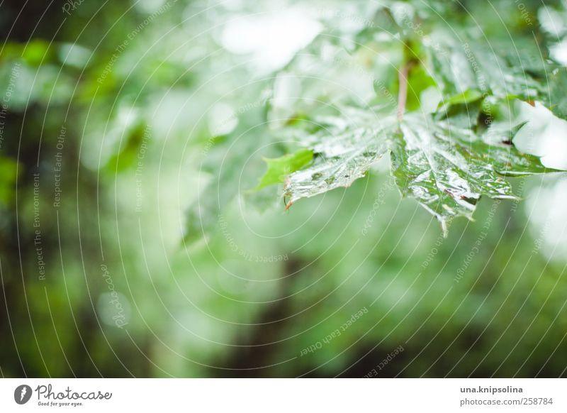 nach dem regen... Umwelt Natur Wassertropfen Herbst schlechtes Wetter Regen Pflanze Baum Blatt Ahorn Ahornblatt glänzend nass natürlich grün Stimmung Ewigkeit