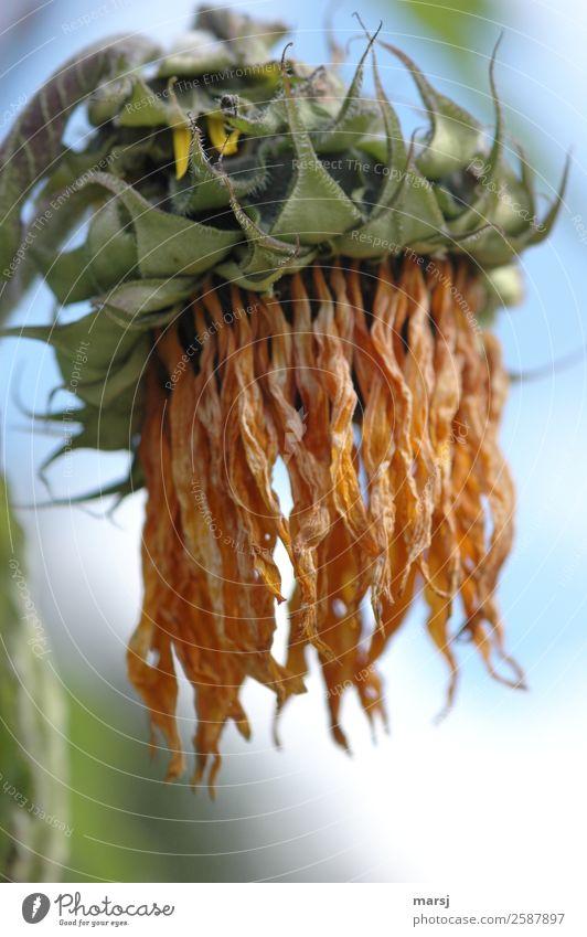 Plötzlich alt Natur Pflanze Sommer Blume Sonnenblume hängen verblüht außergewöhnlich natürlich Traurigkeit Trauer Tod vertrocknet trocken Farbfoto