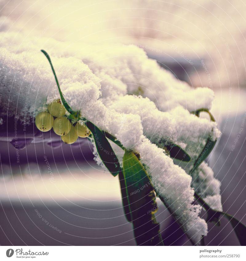 Kalte Umarmung Natur Pflanze Winter Schönes Wetter Schnee Blatt Grünpflanze Mistelgewächse Mistelzweig nah grün violett weiß kalt Vergänglichkeit Wachstum
