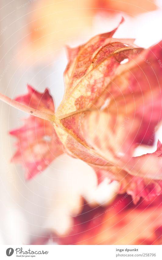 Erleuchtung Natur Pflanze schön rot Blatt Umwelt gelb Gefühle natürlich außergewöhnlich Garten Stimmung hell Park leuchten Kraft