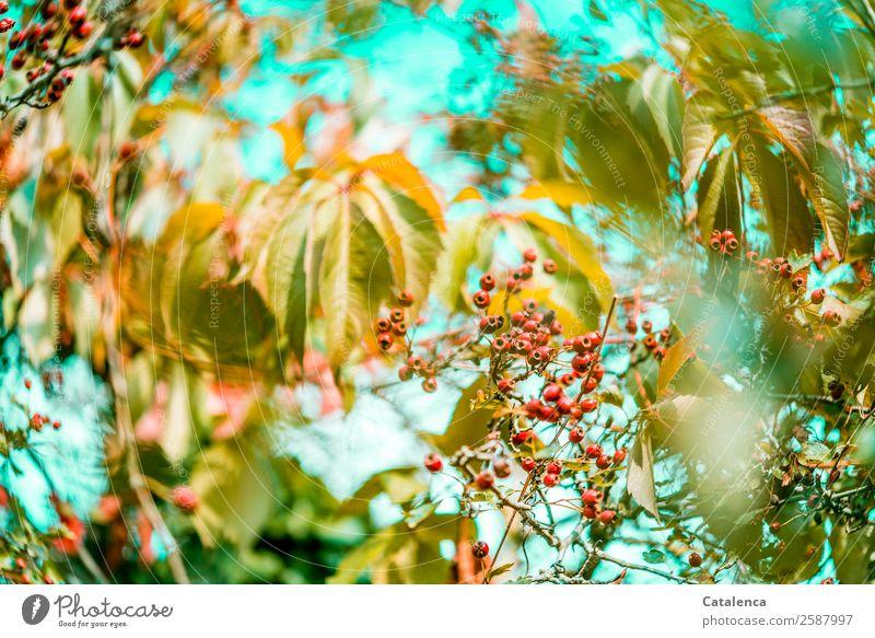 Beerig Natur Pflanze Himmel Herbst Schönes Wetter Sträucher Blatt Wildpflanze Wilder Wein Weissdorn Hecke Ranke Beerensträucher Beerenfruchtstand Garten