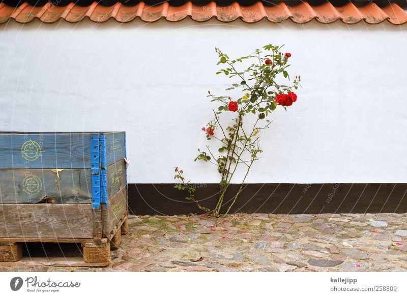 überlebenskünstlerin Lifestyle Umwelt Natur Pflanze Rose Blüte Wildpflanze Blühend Wachstum Mauer Dänemark Kiste Fischereiwirtschaft Farbfoto Außenaufnahme