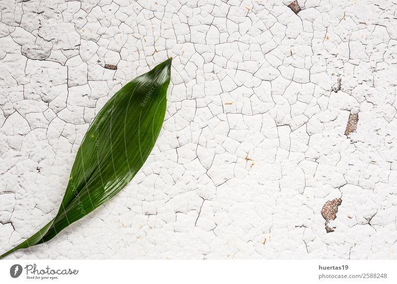 Tropisches Palmblatt. elegant Stil Design exotisch Garten Dekoration & Verzierung Pflanze Blatt natürlich grün weiß Gefühle Farbe Hintergrund Schot tropisch