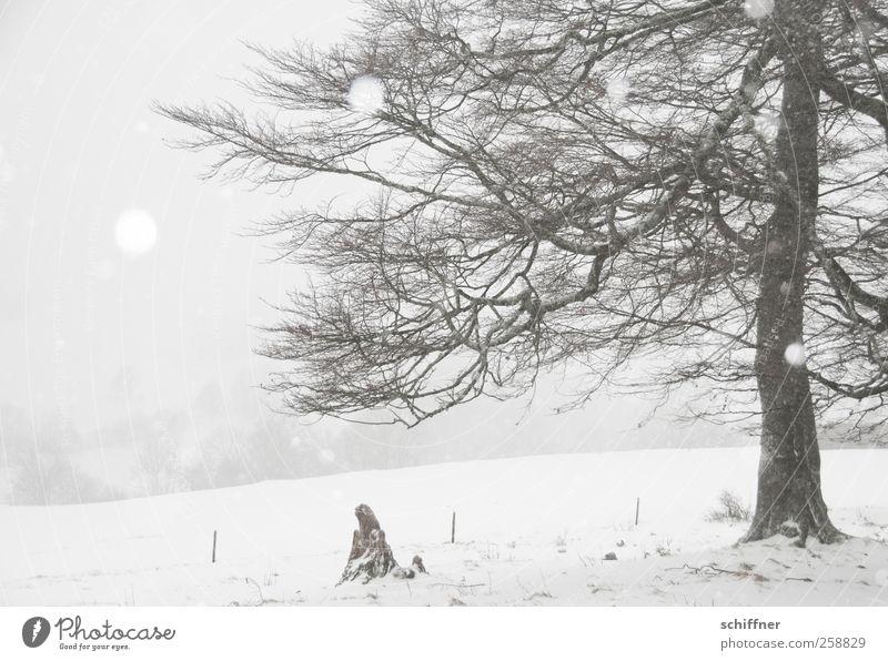 Baumloben | halber Baum Umwelt Natur Landschaft Winter schlechtes Wetter Eis Frost Schnee Schneefall Pflanze kalt weiß Schneeflocke Schneelandschaft Baumstamm